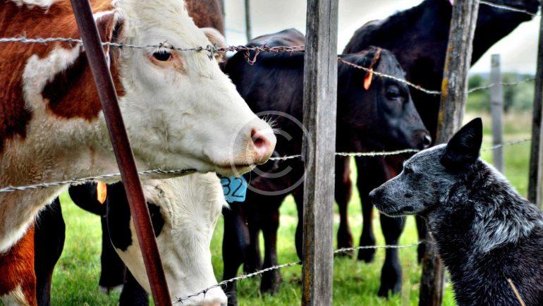 Safe Environment for Farm Cows